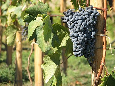 Gruzja winogrona