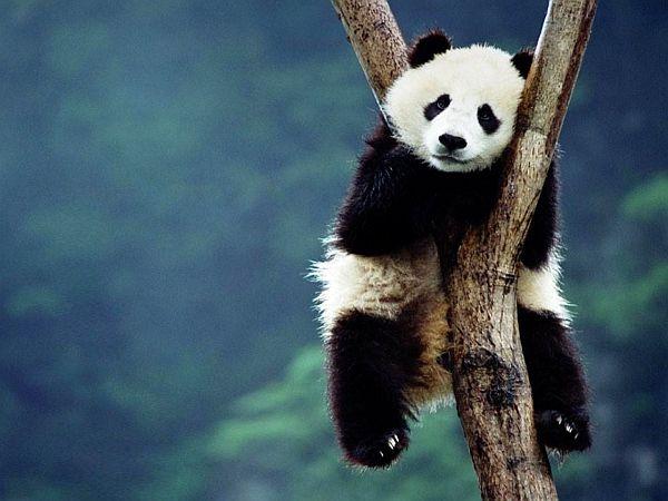 Panda w Chengdu, prowincja Syczuan.